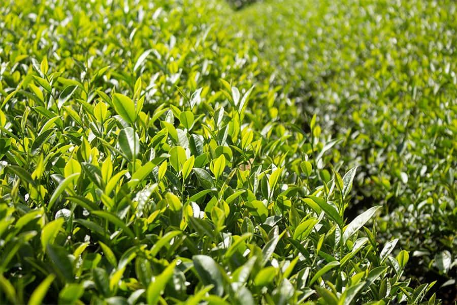 cây-trà-oolong-tại-lâm-đồng