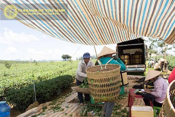 viager-hợp-tác-với-người-nông-dân-trông-trà