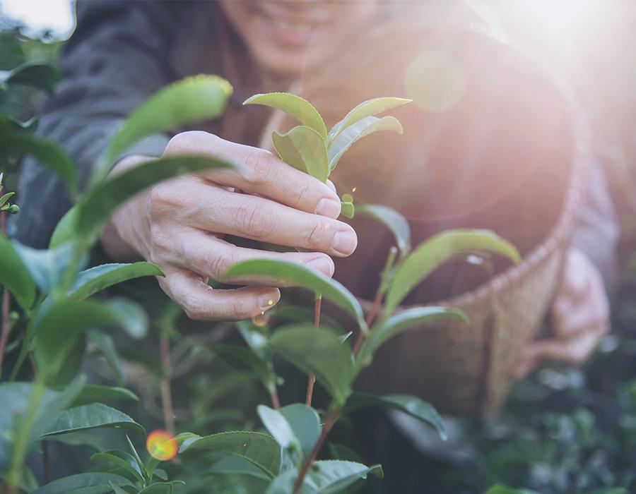Trà mộc là gì và cách nhận biết trà mộc với trà tẩm hương liệu