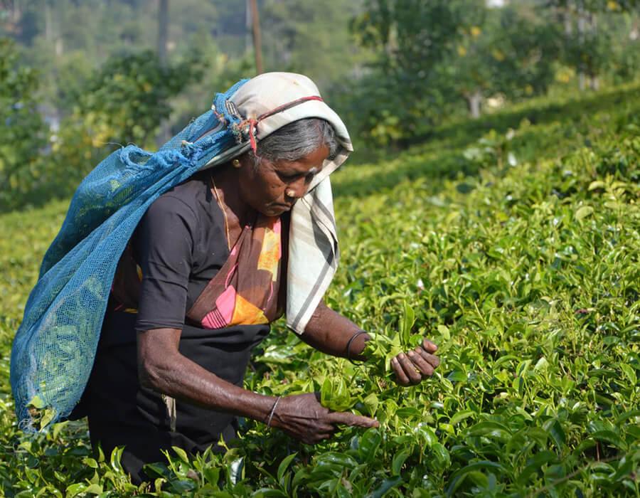 Sản xuất trà Earl Grey